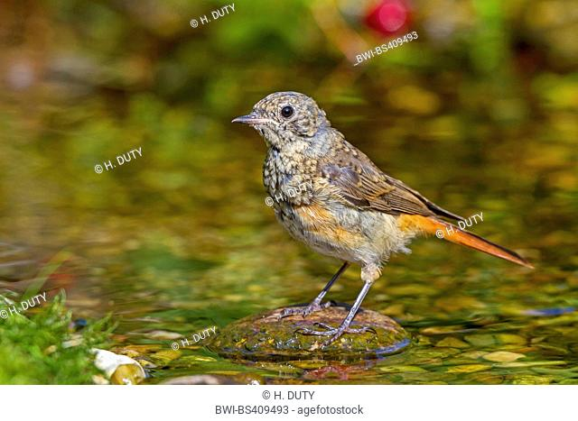 common redstart (Phoenicurus phoenicurus), young male in a brook, Germany, Mecklenburg-Western Pomerania