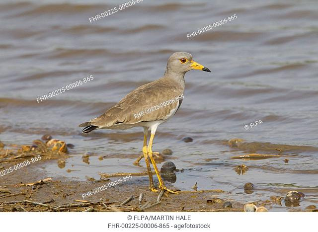Grey-headed Lapwing (Vanellus cinereus) adult, breeding plumage, standing on mud at edge of shallow water, Hong Kong, China, April
