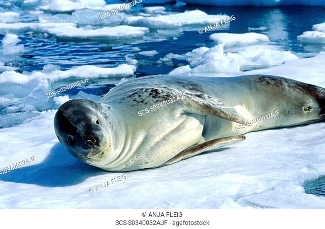 Leopard Seal Hydruga leptonyx lying and resting on ice PlÈneau Island, Antarctica
