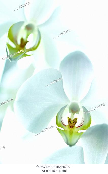 Close up of white Orchid
