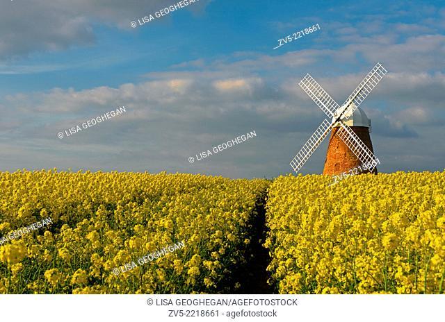 The Halnaker Windmill amonst Rapeseed- Brassica napus,Halnaker, Chichester, West Sussex, England, Uk
