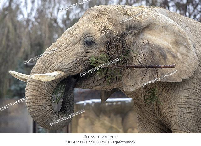 African elephants (Loxodonta africana) in the Dvur Kralove Zoo in Dvur Kralove nad Labem, Czech Republic, got from their keepers popular yearly delicatessen in...