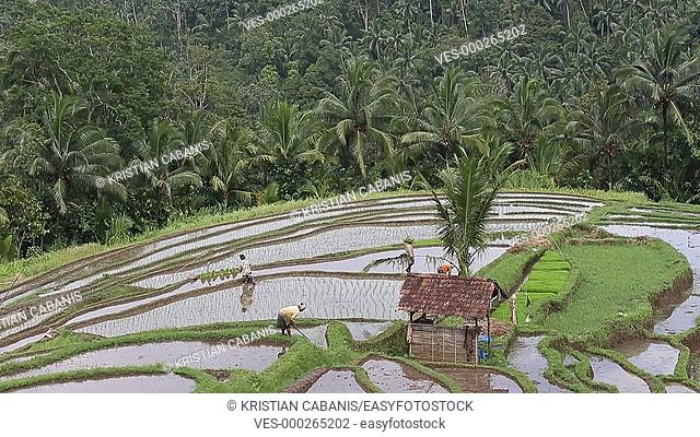 Rice paddy, Bali, Indonesia, Southeast Asia