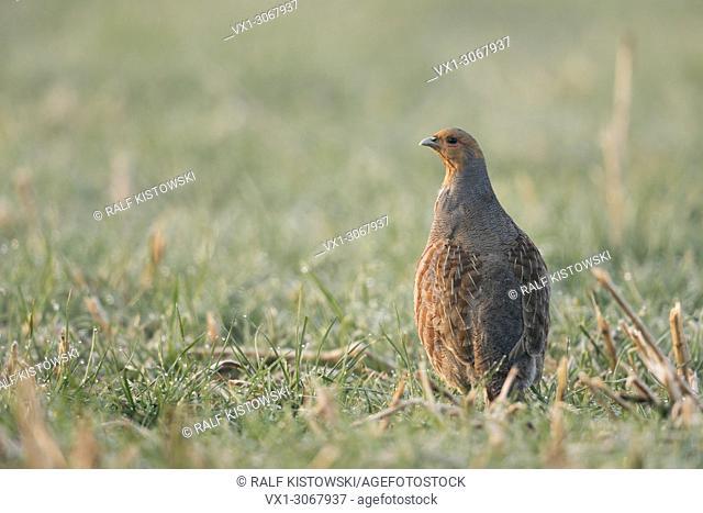 Attentive Grey Partridge ( Perdix perdix) standing upright, carefully watching around, looking alert, wildlife, Europe