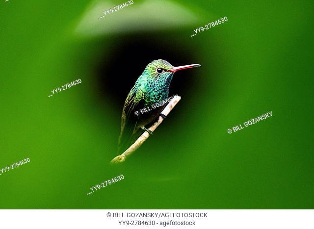 Rufous-tailed Hummingbird (Amazilia tzacatl) - Boca Tapada, San Carlos, Costa Rica