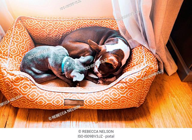 French bulldog puppy and boston terrier dog sleeping in dog bed together