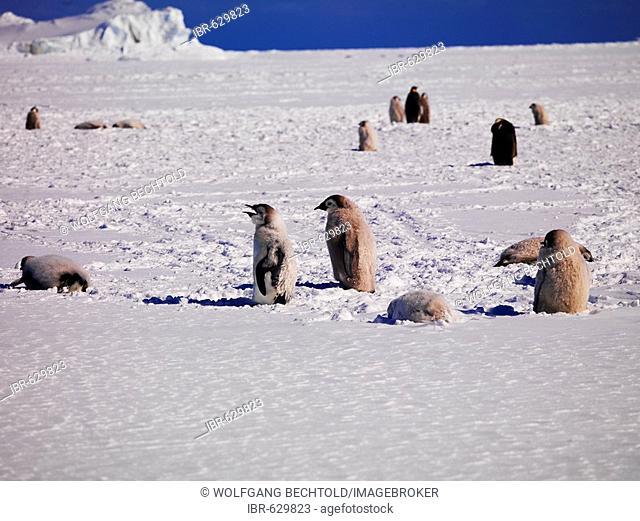 Emperor Penguin (Aptenodytes forsteri) colony at Cape Washington, Ross Sea, Antarctic