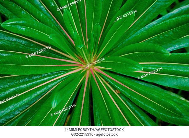 O-Hama-Gikyo (Lobelia boninensis), native to Ogasawara islands, Japan. Photographed n Hawai'i