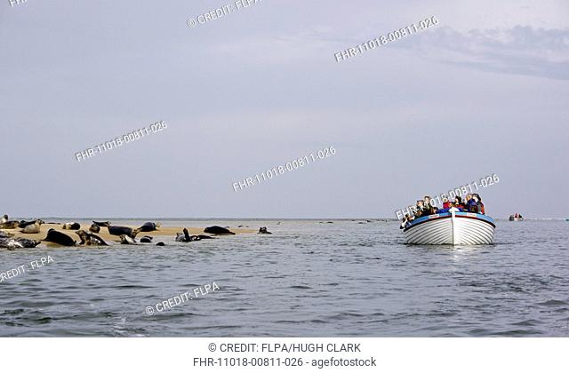Grey Seal (Halichoerus grypus) and Common Seal (Phoca vitulina) group, hauled out on sandbank, with tourists watching from boat, Blakeney Point, Norfolk