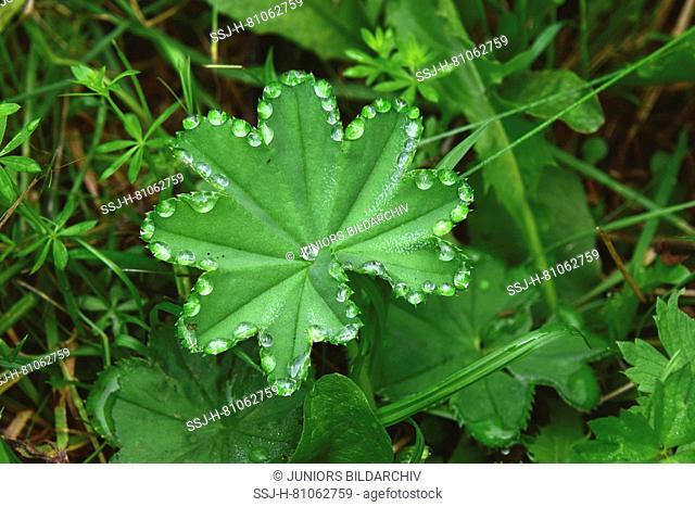 Guttation drops on Lady`s Mantle leaves (Alchemilla vulgaris)
