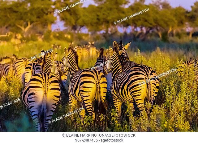 Herd of zebras, Kwando Concession, Linyanti Marshes, Botswana