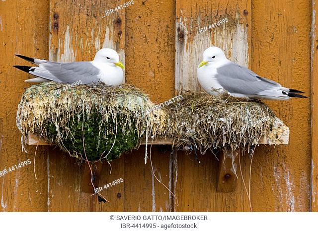 Black-legged Kittiwakes (Rissa tridactyla), adult birds perched on nests, Vardø, Finnmark, Norway