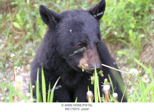 Black bear eating dandelions. Yoho National Park, British Columbia, Canada