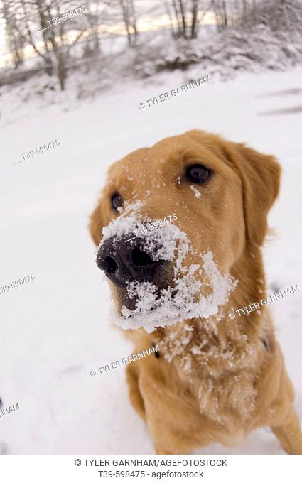 1 year old Golden retriever with snow on her nose playing in the snow in Delta. British Columbia. Canada