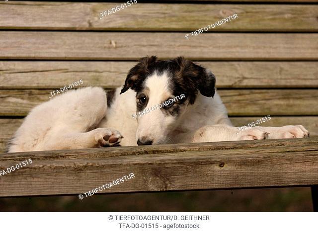 Borzoi Puppy