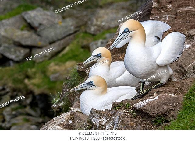 Northern gannets (Morus bassanus) breeding on nests in sea cliff at seabird colony in spring along the Scottish coast, Scotland, UK