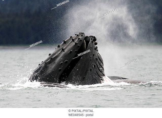 Humpback Whales (Megaptera novaeangliae) co-operatively bubble-net feeding in Stephen's Passage, Southeast Alaska, USA. Pacific Ocean
