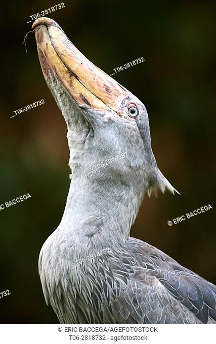 Portrait of Whale headed / Shoebill (Balaeniceps rex) vocalising. Swamps of Mabamba, Lake Victoria, Uganda