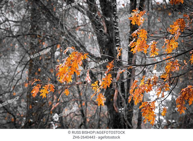Black oak leaves in winter, Yosemite Valley, Yosemite National Park, California