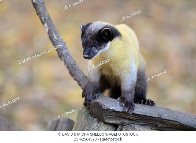 Close-up of a yellow-throated marten (Martes flavigula) in a forest in autumn