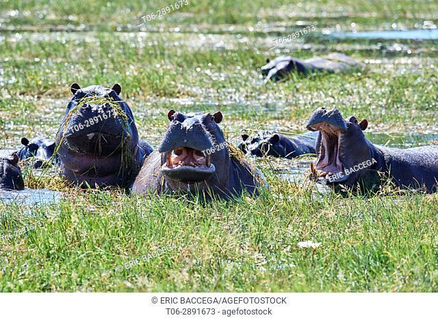 Hippopotamus (Hippopotamus amphibius) bathing and yawning. Moremi National Park, Okavango delta, Botswana, Southern Africa