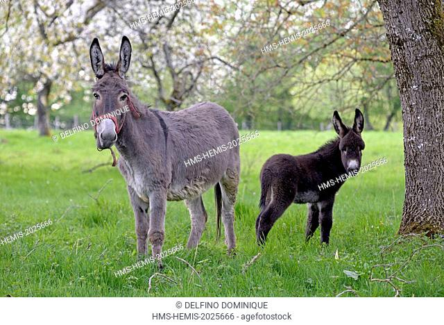France, Doubs, Blamont, donkey and its colt in an orchard