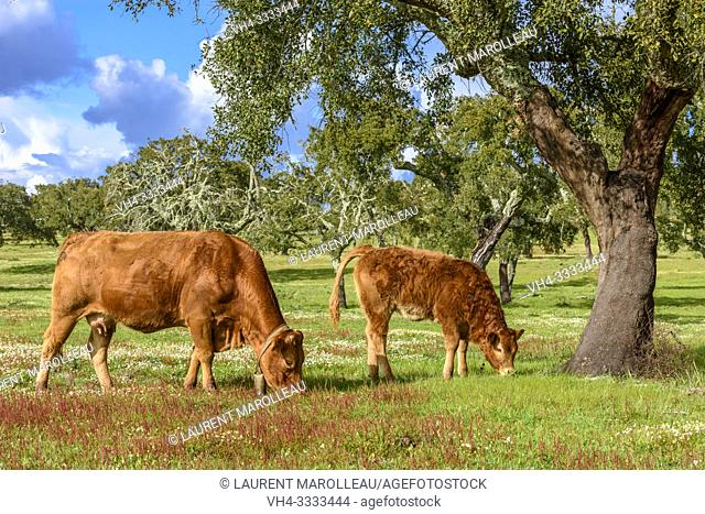 Cows grazing in a Cork Oak Dehesa, Evora District, Alentejo Region, Portugal, Europe