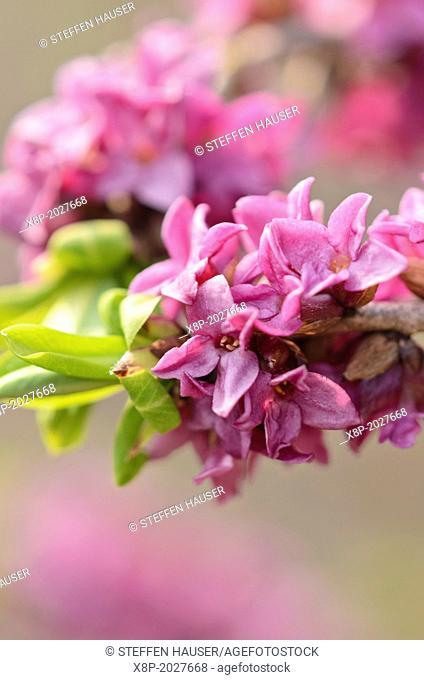 February daphne (Daphne mezereum)