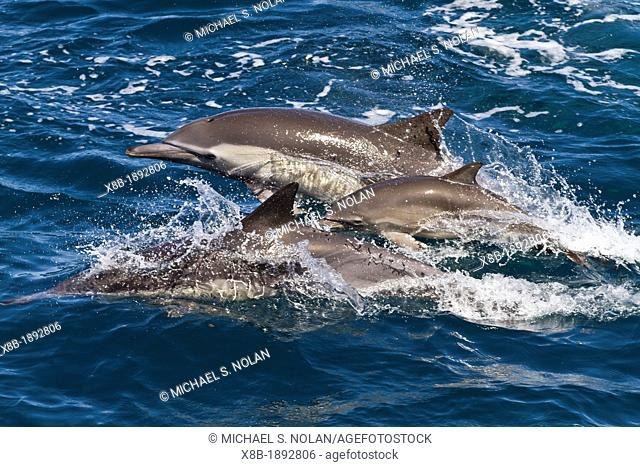 Long-beaked common dolphin adults with calf Delphinus capensis encountered off Isla San Esteban in the Gulf of California Sea of Cortez, Baja California, Mexico