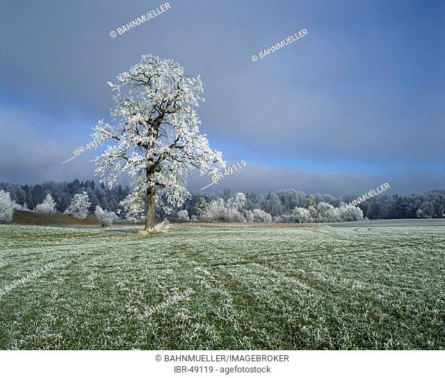 Tree morning dust white frost winter time