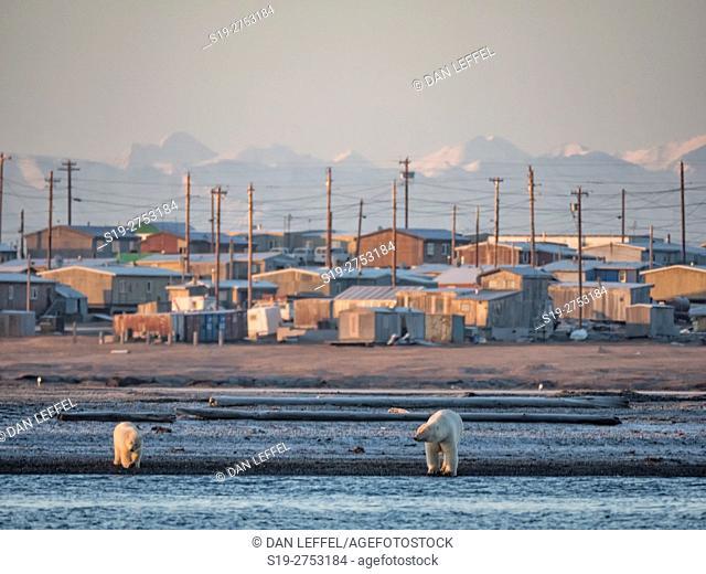 Alaska Arctic Polar Bears Outside Kaktovik
