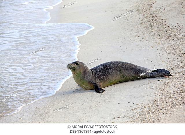 Hawaï , Midway , Eastern Island , Hawaiian monk seal  Monachus schauinslandi