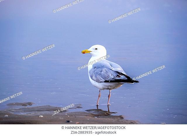 Seagull at the beach of Scheveningen, The Hague, The Netherlands, Europe
