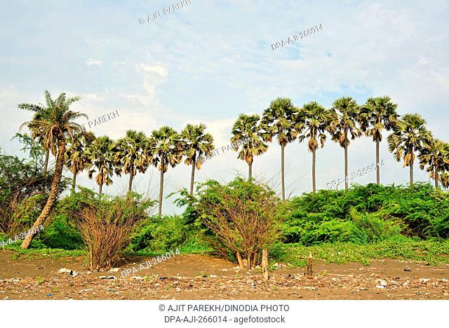 Palmyra palm trees, Bhagal beach, Valsad, Gujarat, India, Asia