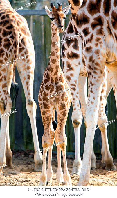 A baby giraffe, born at the end of February, at Schwerin Zoo, 23 March 2015. The as yet unnamed animal is due to be christened on Easter Monday