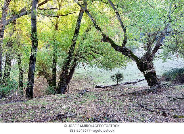 Ash in the basin of river Lozoya. Patones. Madrid. Spain. Europe