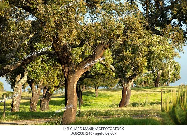 Cork oak forest, Barradas da Serra estate, Grandola, Alentejo, Portugal