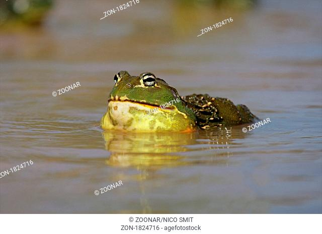Male African giant bullfrog Pyxicephalus adspersus active in shallow water during the summer breeding season, South Africa