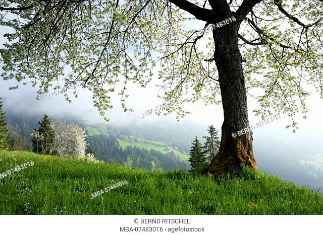 Spring at the Saukogel above Söll, Kitzbüheler Alps, Tyrol, Austria