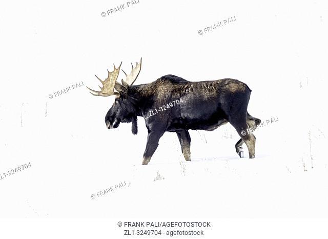 Bull Moose in Yellowstone Park