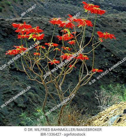 Christmas Star, Poinsettia (Euphorbia pulcherrima), Gran Canaria, Spain, Europe