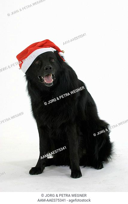 Old German Sheepdog with Christmas cap