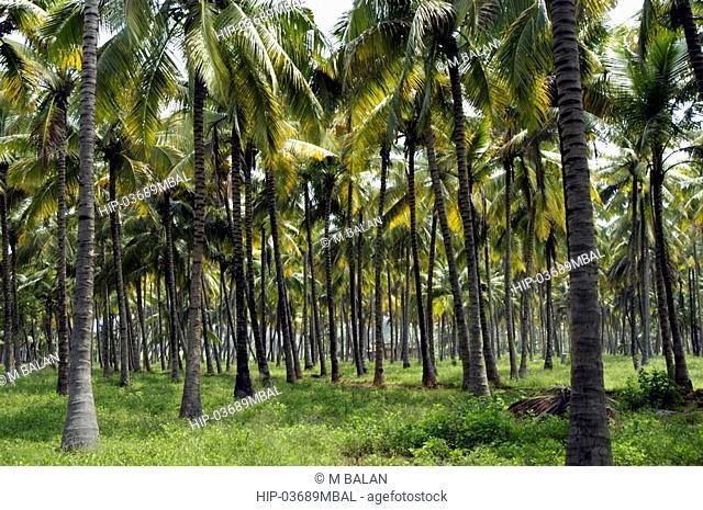 COCONUT FARMS ON TAMIL NADU PLAINS AT CUMBUM NEAR KUMILY THEKKADY