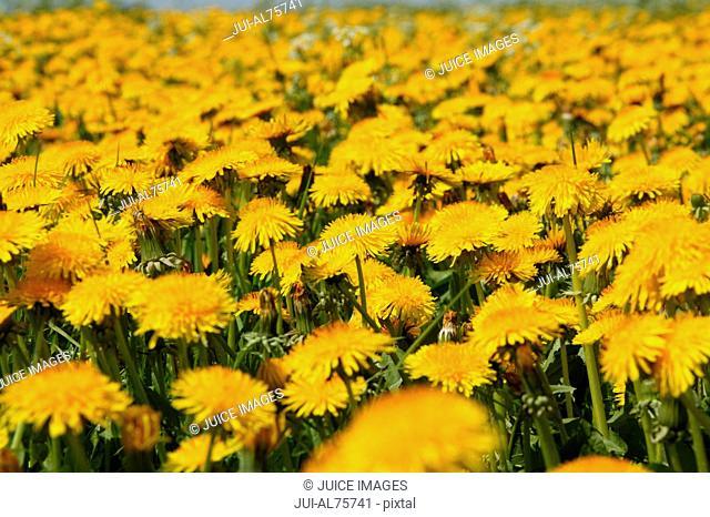 View of dandelion field