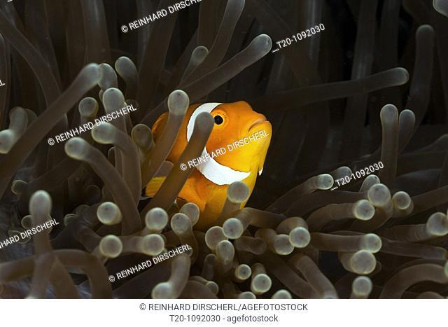 Clown Anemonefish, Amphiprion ocellaris, Raja Ampat, West Papua, Indonesia