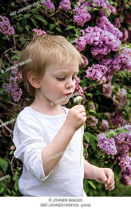 Boy blowing dandelion, Skane, Sweden