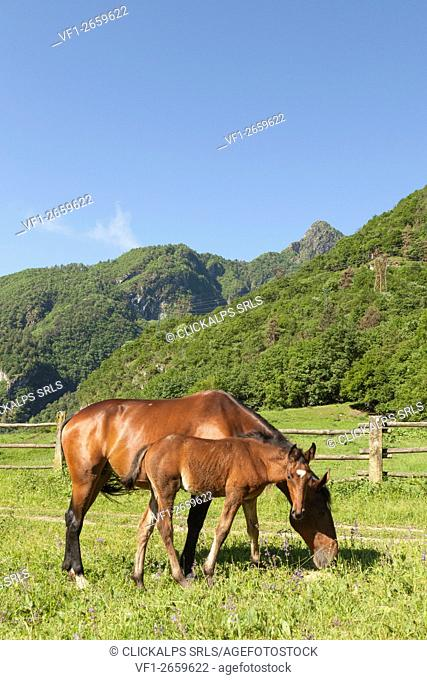 Salet, Center of Equestrian Selection, Sedico, Veneto. Horse broodmare and foal grazing