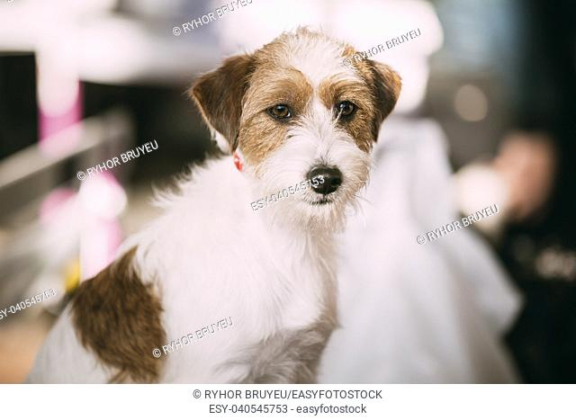 Close up Young Rough Coated Jack Russell Terrier Dog. Small terrier