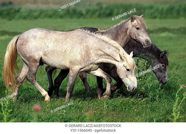 Lusitano Horse, Herd standing in Meadow