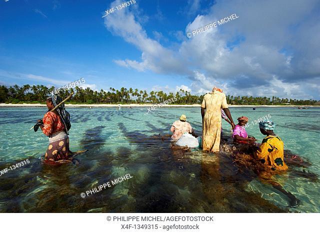 Tanzania, Zanzibar island, Unguja, alga harvesting at one of the underwater farms, Jambiani